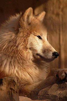 Beautiful wolf profile
