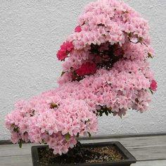 Gorgeous Bonzai Tree!!!