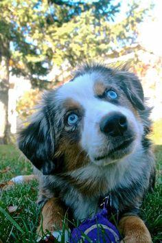 Finn MacCool. Blue Merle mini Australian shepherd.  This color would be my first choice