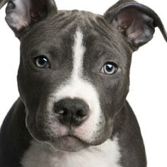 American Staffordshire Terrier #dog #animal #american #staffordshire #terrier Via www.spoiltdoggie.co.uk