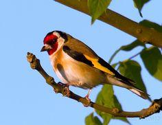 Putter / Carduelis carduelis / Goldfinch by Marcel Tuit, via Flickr