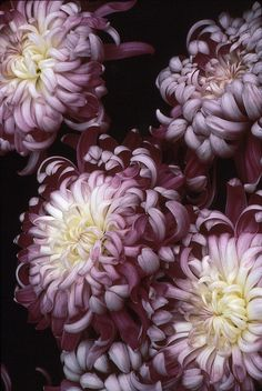 Mums are the beauties of a fall day...