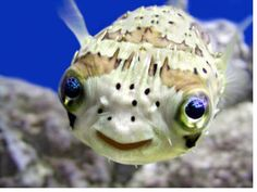 Porcupine puffer. (My dad had one named happy before i was born) To go in my salt water aquarium