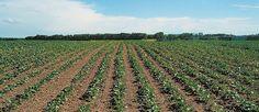 Corn planter effective in precision canola seeding