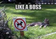 This rebel cat doesn't like to follow rules. Kitten is a boss an he knows it. Best funny cat memes, funny cats, Only rebels understand this meme.  #cat #funnycat #funnycatmemes #cats #boss Funny Animal Memes, Dog Memes, Cute Funny Animals, Funny Animal Videos, Funny Cute, Funny Dogs, Cute Cats, Funny Memes, Top Funny