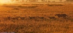 Breakfast time: A cheetah mother guides her family of six cubs through the dew-covered grass shortly after sunrise
