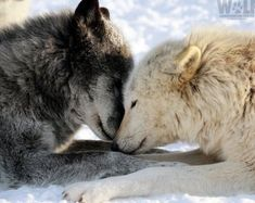 """""""It is not enough to understand the natural world; the point is to defend and preserve it. Wolf Love, Arktischer Wolf, Lone Wolf, Wolf Photos, Wolf Pictures, Beautiful Wolves, Animals Beautiful, Wolves In Love, Grey Wolves"""