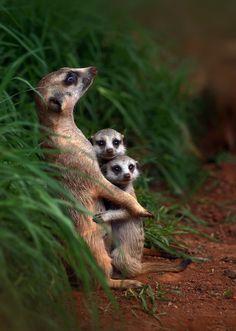 Erdmännchen Mama mit Kindern