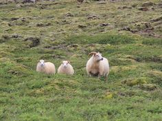 Got to love the sheep in #Iceland... plus they do pose well for the camera