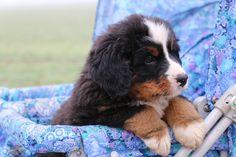 Berner Sennenhund Welpe http://fc-foto.de/35147011
