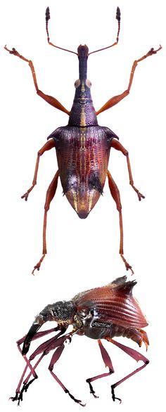 Ancistropterus quadrispinosus.