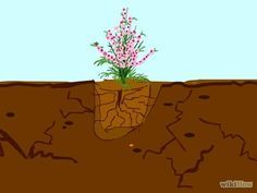 Grow a Cherry Blossom Tree