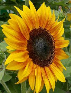 Sunflower Garden, Sunflower Art, Sunflower Fields, Planting Sunflowers, Sunflowers And Daisies, Happy Flowers, Beautiful Flowers, Sun Flowers, Virtual Flowers