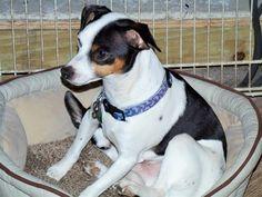 Lost Dog - Jack Russell Terrier - Lake Panasoffkee, FL, United States