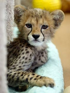 Cheetah - 486151_142595279246415_374691595_n.jpg (720×960)