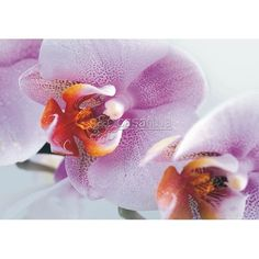 Fotomural PINK ORCHID-2867
