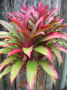 Hawaiian Ti  An exotic looking foliage plant with striking leaves.