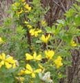 Cal-IPC: Invasive Central Valley Shrubs and alternatives to plant