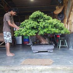 That's one huge Bonsai tree!