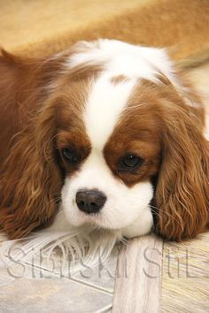Spaniels, Cavalier King Charles, Charlotte, Puppies, Smile, Dogs, Animals, Cubs, Animales