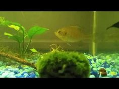 Water Fleas and a Wild Caught Bluegill - YouTube