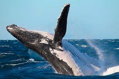 Whale breaching in New South Wales. Photo Credit: Wild About Whales