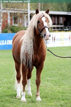 Tukkajumala! Barrel Racing Saddles, Barrel Racing Horses, Horse Saddles, Horse Halters, Cute Horses, Horse Love, Beautiful Horses, Palomino, Black Australian Shepherd