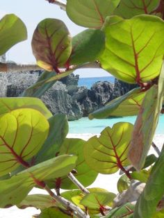 Bermuda Bay Grape Tree...I miss home....and yes, the water really is turquoise...that's not a filter