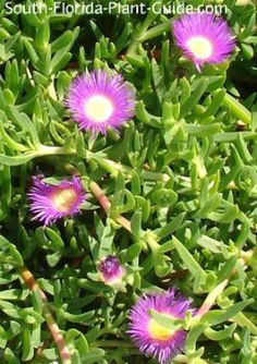 Succulent ice plant - with bright fuschia flowers adorning the short, finger-like foliage - is the perfect groundcover in sunny areas where irrigation is a problem. Succulent Landscaping, Landscaping Plants, Planting Succulents, Planting Flowers, Florida Flowers, Florida Plants, Florida Landscaping, Florida Gardening, Garden Bugs