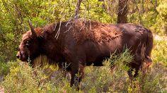Decapitado el macho alfa de la reserva de bisontes europeos de Valencia…