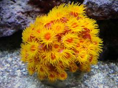 Sun coral - Reef Central Online Community
