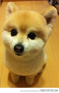 Pomeranians can sometimes be ridiculously cute...