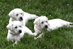 Yellow Lab pups - so white