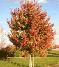 Maple Sienna Glen Pinelane Nursery A Cousin Of The Autumn Blaze
