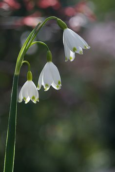 Leucojum aestivum flowers in the lower garden- Summer Snowflake | Flickr - Photo Sharing!