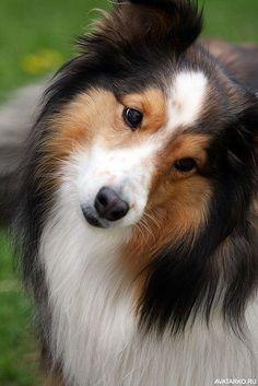 Морда собаки колли с милым взглядом - картинки для аватара