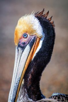Brown Pelican, Ventura California. Just Call Me Spike by Denise Dewire