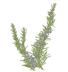 Rosemary is for remembrence. Prevent Mosquito Bites, How To Kill Bees, Keeping Mosquitos Away, Pine Garland, Mosquito Repelling Plants, Plant Vector, Home Made Soap, Lawn And Garden, Home Remedies