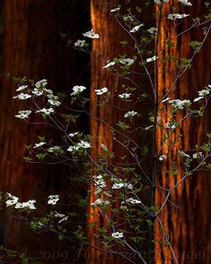magical dogwoods - I love dogwood trees ...