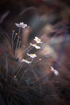Photo Japanese Wind Flowers by Fran Zhang on 500px
