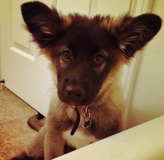 Nova the German Shepherd Mix. She is a rambunctious & playful puppy ...