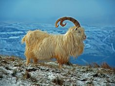 Kashmir Mountain Goat, or Cashmere Goat (Capra hircus laniger) native to the Himalayas of India Nature Animals, Farm Animals, Cute Animals, Wild Animals, Goat Picture, Animals With Horns, Sheep Pig, Big Horn Sheep, Himalaya