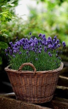 Growing Lavender, Lavender Flowers, Lavender Plants, Lavander, Planting Lavender Outdoors, Purple Flowers, Lavender Hair, Easy Garden, Garden Pots