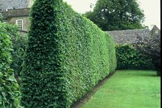 The best fast growing hedges