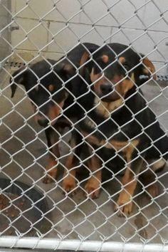 ****URGENT!! 2 PUPPIES!!! Cage 7-DOZER & DUKE**** Blk/Brn Rott X, Male 6 mos  Impound 1/21/14 Due out 1/28/14 Roswell Animal Control 705 E. McGaffey; Roswell, NM 575-624-6722 https://www.facebook.com/photo.php?fbid=247624538738884&set=a.210352005799471.1073741841.176246809209991&type=3&theater