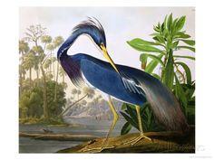 Louisiana Heron from