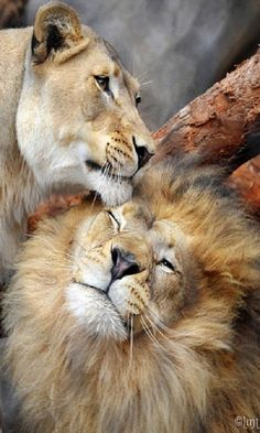 Lions most often live in groups called prides, although they can sometimes also be found in pairs. Each pride of lions has a male who is the dominant leader of the group. Males are very protective of their territory and use a ferocious roar to warn intruders.