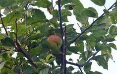 Old apple tree actually bearing an apple, Sept 13.