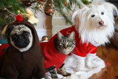 26 Pictures Of Cats & Dogs In Christmas Sweaters- AHH I NEED A PUG