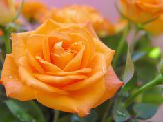 Orange rose by Lia